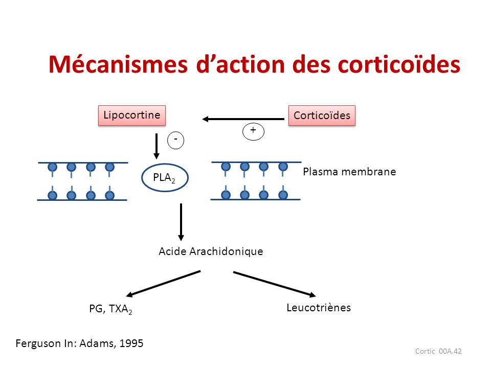 Cortic 00A.42 Mécanismes daction des corticoïdes Lipocortine Corticoïdes PLA 2 Plasma membrane Acide Arachidonique PG, TXA 2 Leucotriènes + - Ferguson