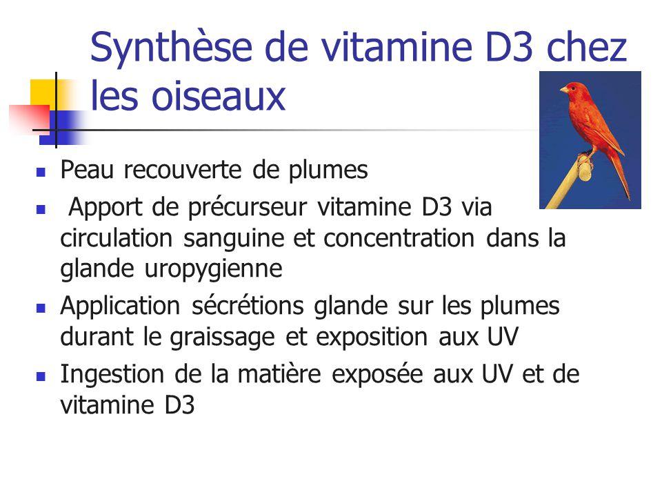 Synthèse de vitamine D3 chez les oiseaux Peau recouverte de plumes Apport de précurseur vitamine D3 via circulation sanguine et concentration dans la