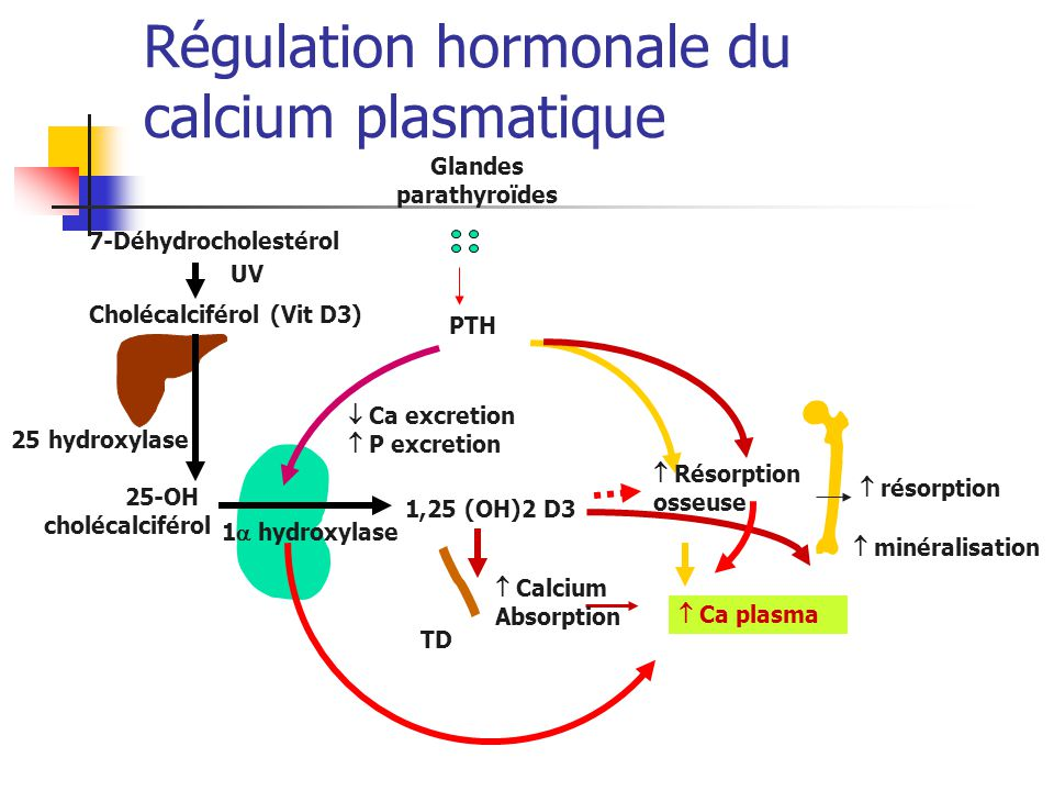 25-OH cholécalciférol 25 hydroxylase Cholécalciférol (Vit D3) 7-Déhydrocholestérol UV PTH Glandes parathyroïdes minéralisation Calcium Absorption TD Ca plasma 1,25 (OH)2 D3 1 hydroxylase résorption Résorption osseuse Ca excretion P excretion Régulation hormonale du calcium plasmatique
