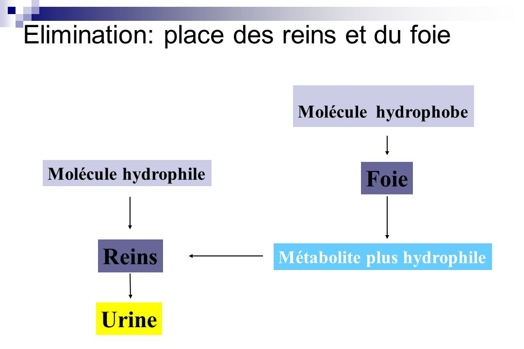 Elimination: place des reins et du foie Molécule hydrophile Reins Urine Molécule hydrophobe Foie Métabolite plus hydrophile