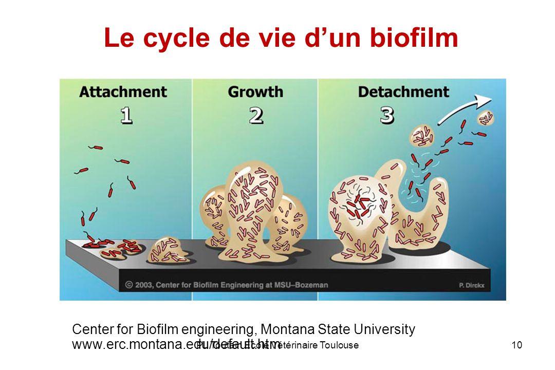 PL Toutain Ecole Vétérinaire Toulouse10 Le cycle de vie dun biofilm Center for Biofilm engineering, Montana State University www.erc.montana.edu/default.htm