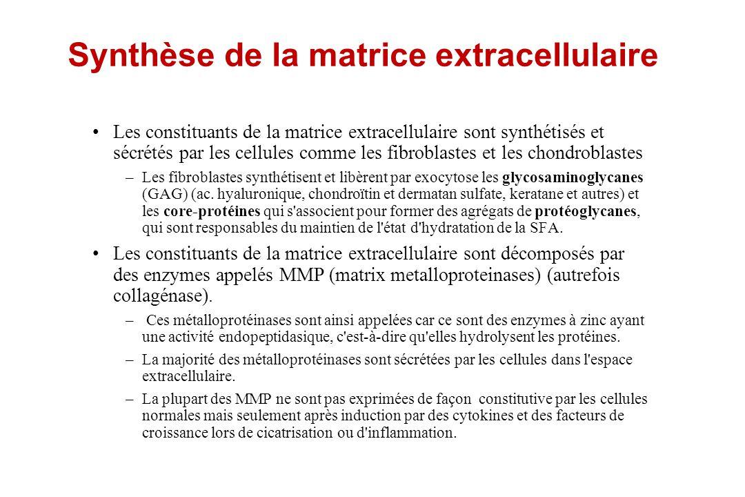 Synthèse de la matrice extracellulaire Les constituants de la matrice extracellulaire sont synthétisés et sécrétés par les cellules comme les fibrobla