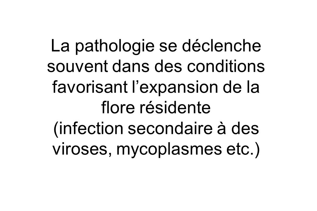 La pathologie se déclenche souvent dans des conditions favorisant lexpansion de la flore résidente (infection secondaire à des viroses, mycoplasmes etc.)