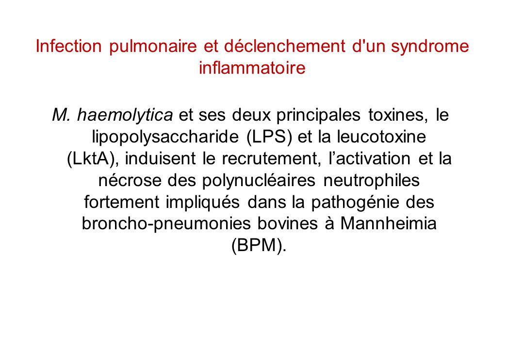 Infection pulmonaire et déclenchement d'un syndrome inflammatoire M. haemolytica et ses deux principales toxines, le lipopolysaccharide (LPS) et la le