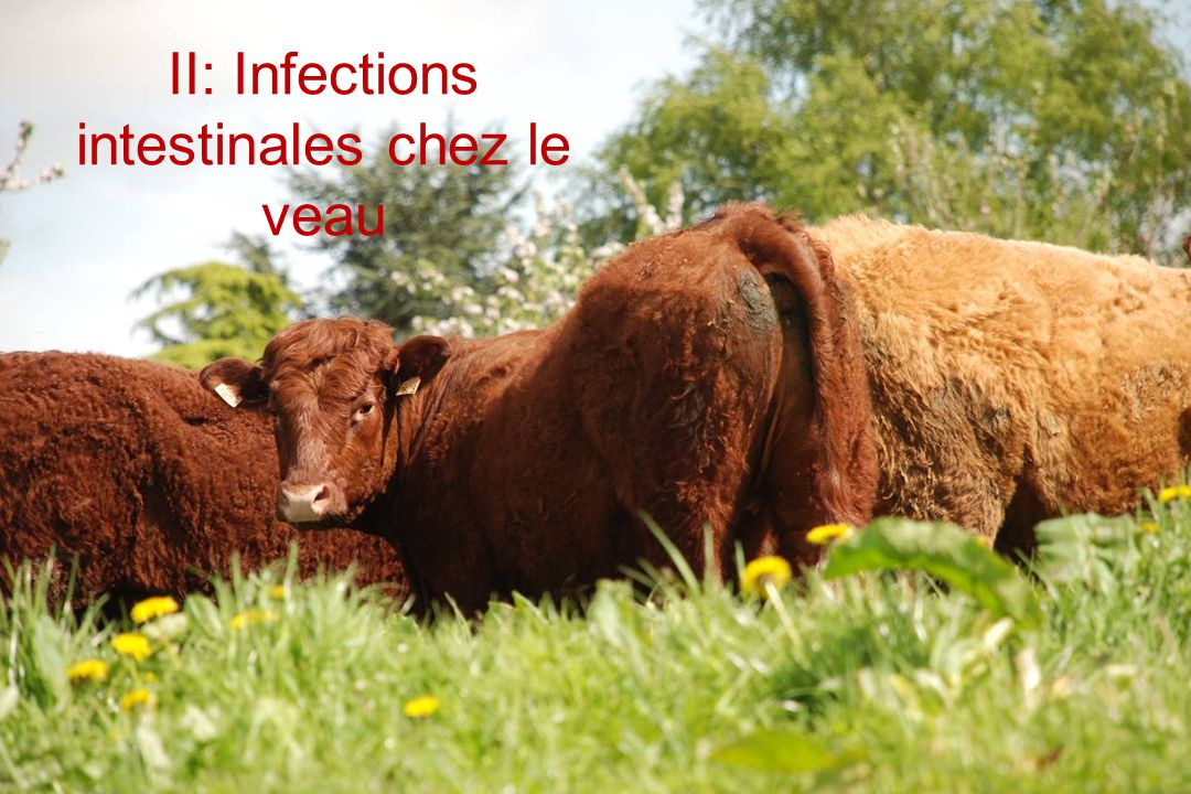 II: Infections intestinales chez le veau