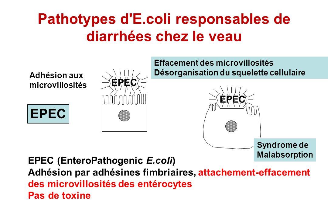 EPEC Adhésion aux microvillosités EPEC Effacement des microvillosités Désorganisation du squelette cellulaire EPEC (EnteroPathogenic E.coli) Adhésion