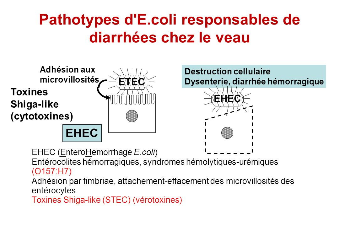 EHEC (EnteroHemorrhage E.coli) Entérocolites hémorragiques, syndromes hémolytiques-urémiques (O157:H7) Adhésion par fimbriae, attachement-effacement d