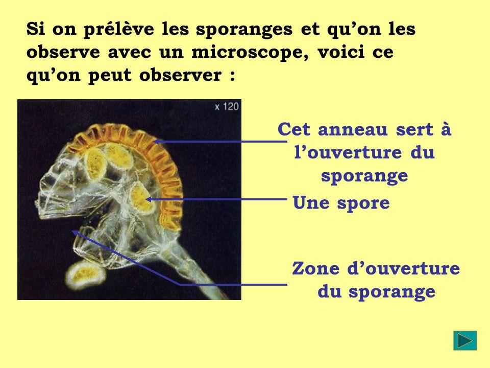 Si on prélève les sporanges et quon les observe avec un microscope, voici ce quon peut observer : Cet anneau sert à louverture du sporange Une spore Z