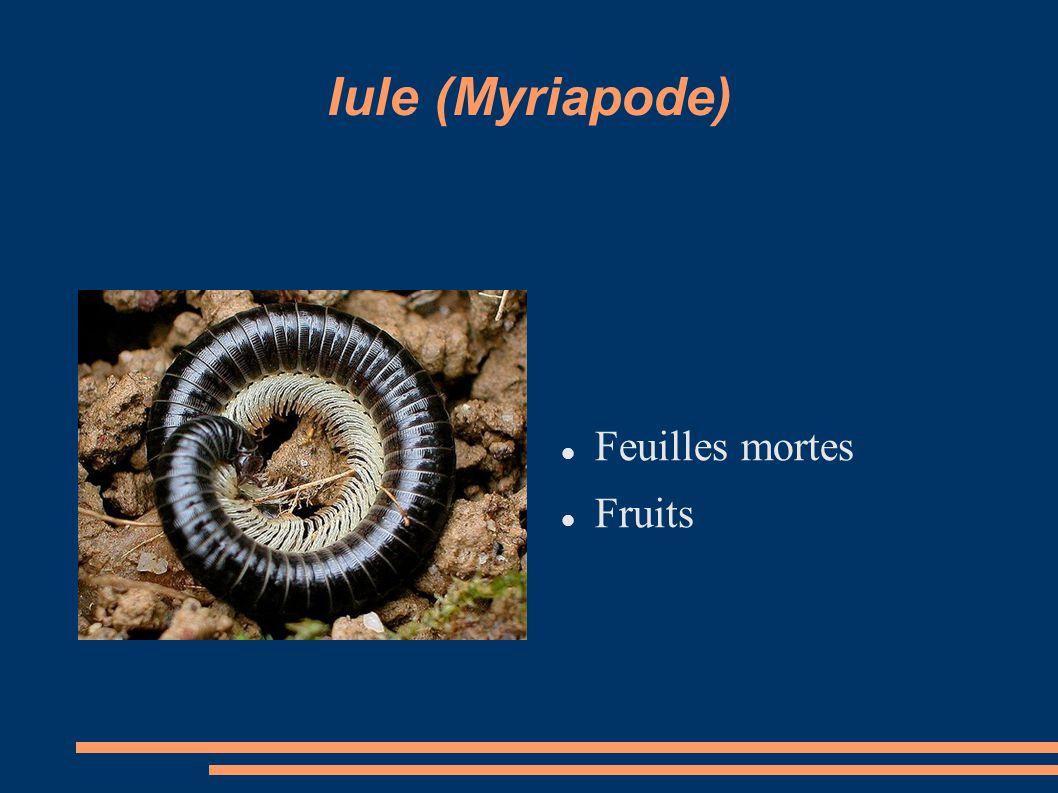 Iule (Myriapode) Feuilles mortes Fruits