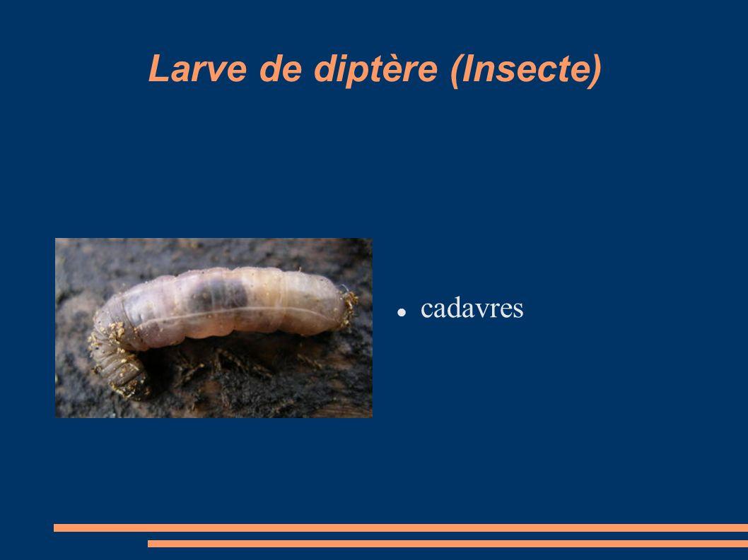 Larve de diptère (Insecte) cadavres