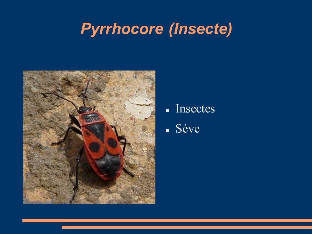 Pyrrhocore (Insecte) Insectes Sève