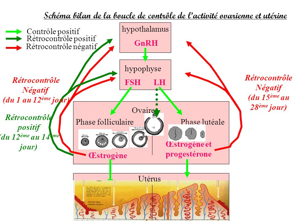 Schéma bilan de la boucle de contrôle de lactivité ovarienne et utérine hypothalamus hypophyse Ovaires Phase folliculairePhase lutéale GnRH FSHLH Cont