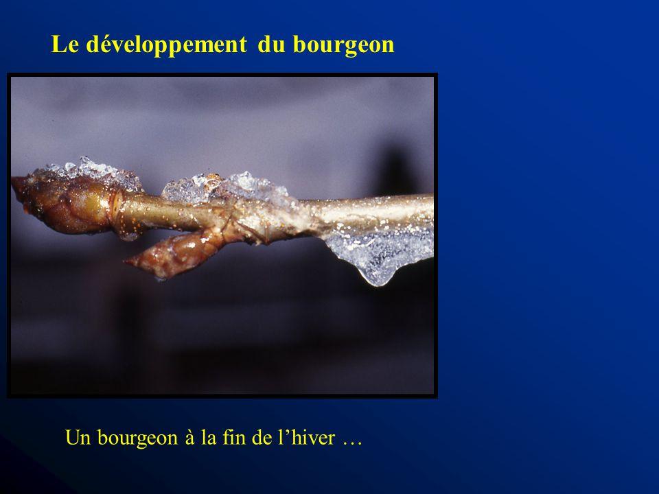 Le développement du bourgeon Un bourgeon à la fin de lhiver …