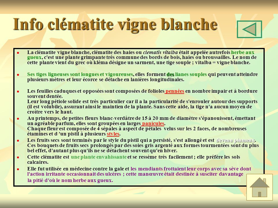 Info clématite vigne blanche La clématite vigne blanche, clématite des haies ou clematis vitalba était appelée autrefois, c est une plante grimpante très commune des bords de bois, haies ou broussailles.