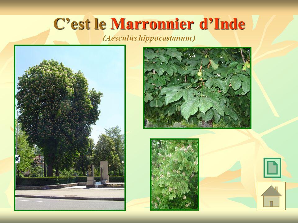 Cest le Marronnier dInde Cest le Marronnier dInde (Aesculus hippocastanum )