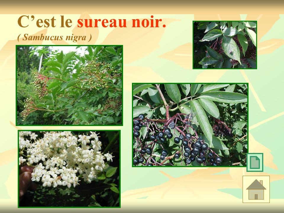 Cest le sureau noir. ( Sambucus nigra )