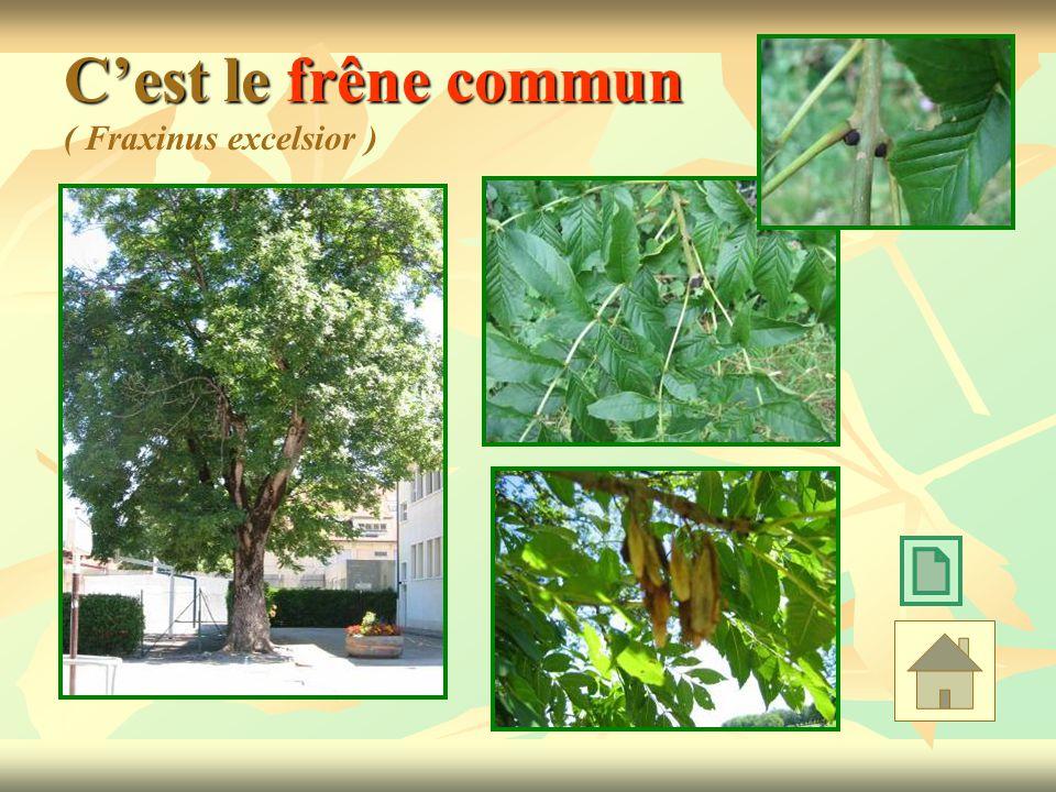 Cest le frêne commun Cest le frêne commun ( Fraxinus excelsior )