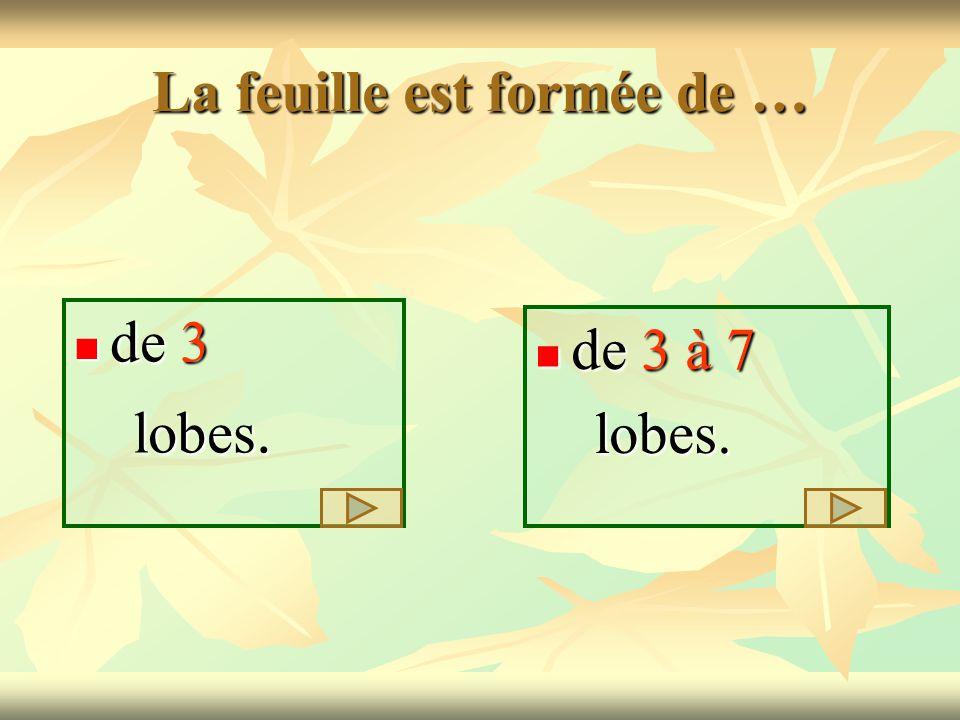 La feuille est formée de … de 3 de 3 lobes. lobes. de 3 à 7 de 3 à 7 lobes. lobes.