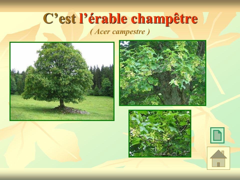 Cest lérable champêtre Cest lérable champêtre ( Acer campestre )