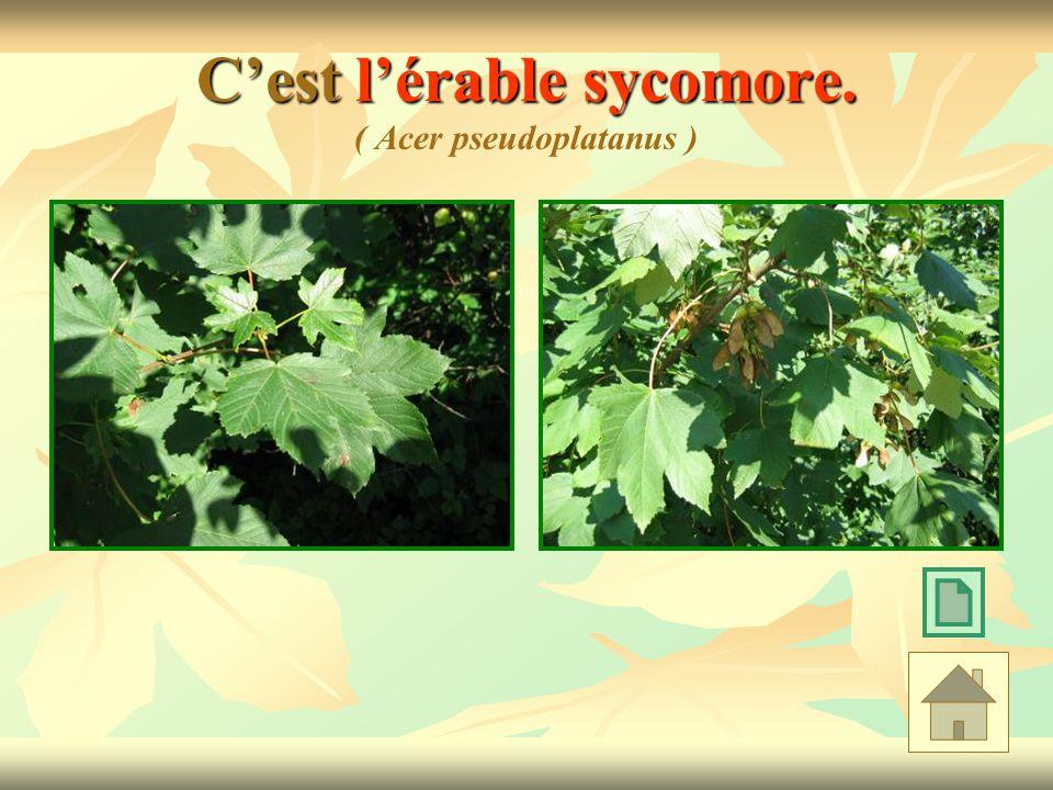 Cest lérable sycomore. Cest lérable sycomore. ( Acer pseudoplatanus )