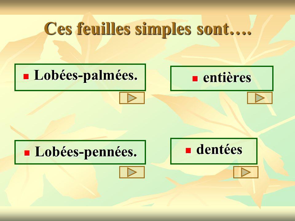 Ces feuilles simples sont…. Lobées-palmées. Lobées-palmées. entières entières dentées dentées Lobées-pennées. Lobées-pennées.