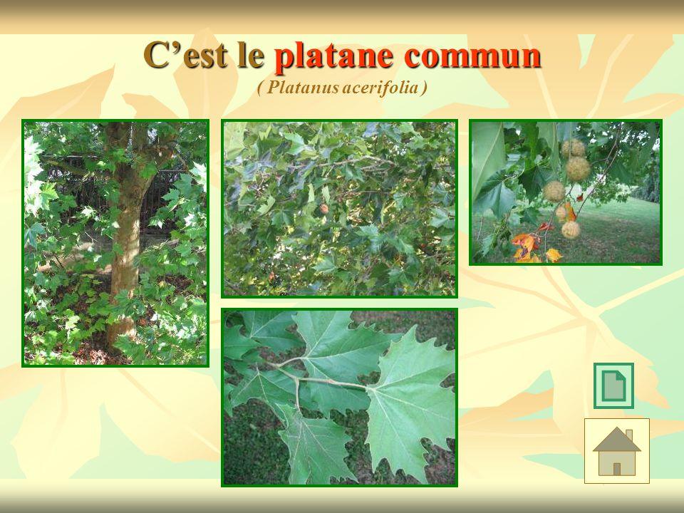 Cest le platane commun Cest le platane commun ( Platanus acerifolia )