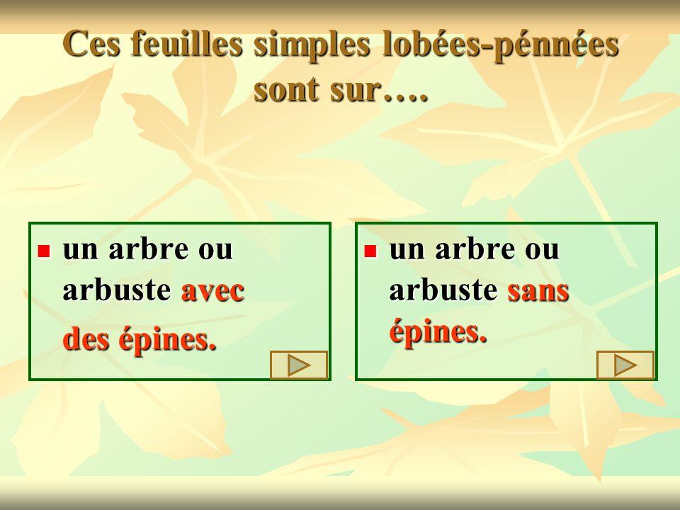Ces feuilles simples lobées-pénnées sont sur…. un arbre ou arbuste avec un arbre ou arbuste avec des épines. des épines. un arbre ou arbuste sans épin