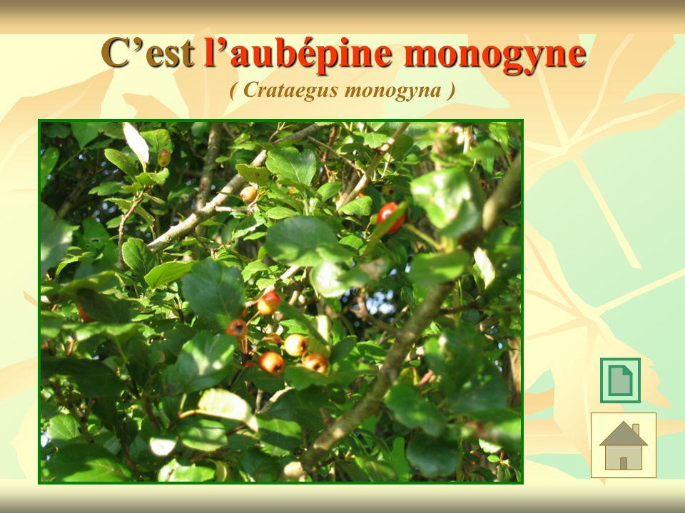 Cest laubépine monogyne Cest laubépine monogyne ( Crataegus monogyna )