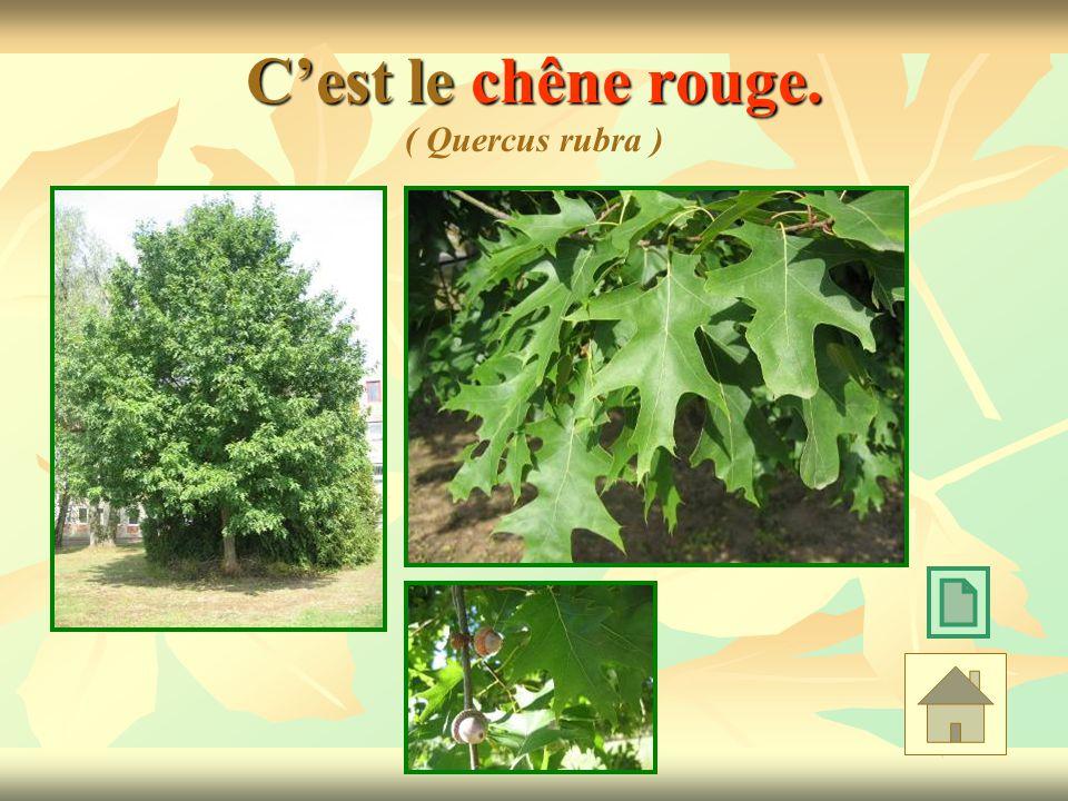 Cest le chêne rouge. Cest le chêne rouge. ( Quercus rubra )