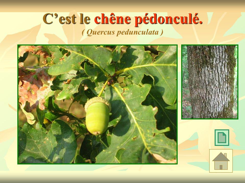 Cest le chêne pédonculé. Cest le chêne pédonculé. ( Quercus pedunculata )