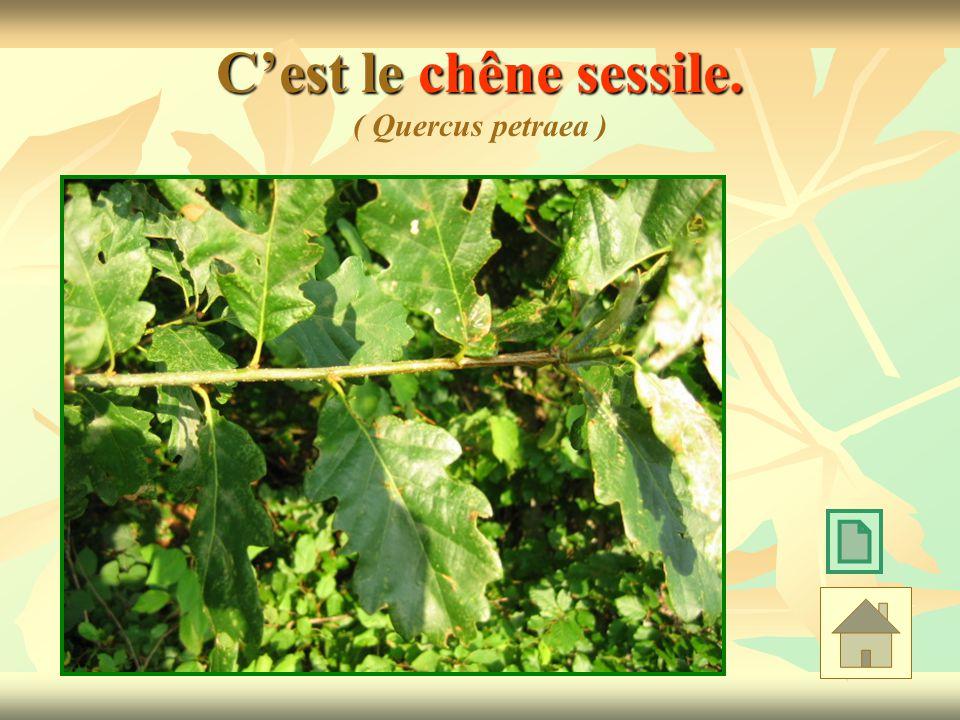 Cest le chêne sessile. Cest le chêne sessile. ( Quercus petraea )