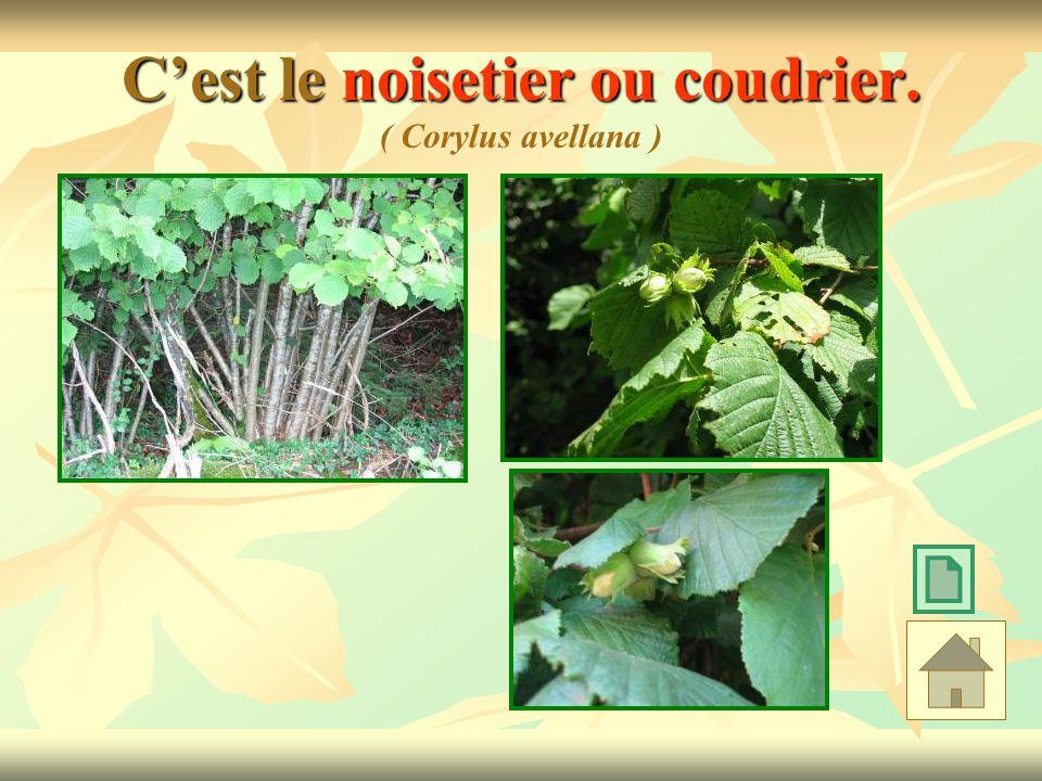Cest le noisetier ou coudrier. Cest le noisetier ou coudrier. ( Corylus avellana )