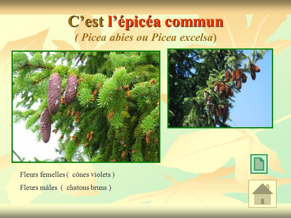 Cest lépicéa commun Cest lépicéa commun ( Picea abies ou Picea excelsa) Fleurs femelles ( cônes violets ) Fleurs mâles ( chatons bruns )