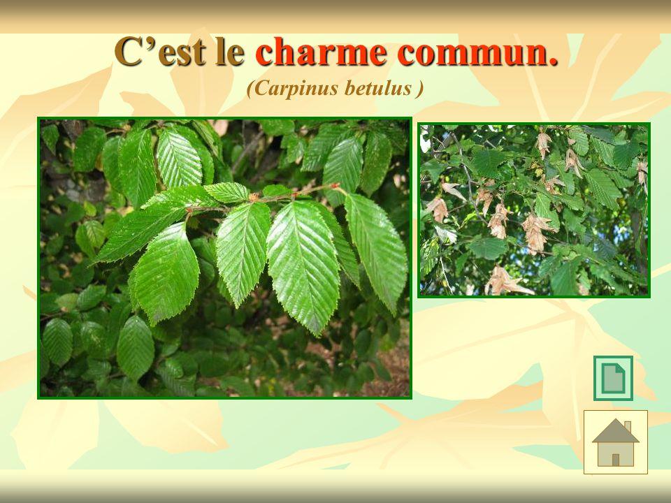 Cest le charme commun. Cest le charme commun. (Carpinus betulus )