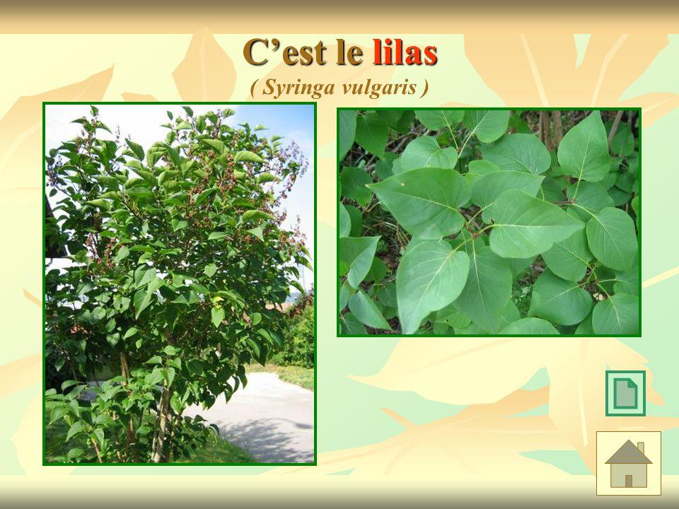 Cest le lilas Cest le lilas ( Syringa vulgaris )
