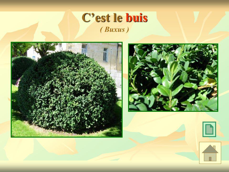 Cest le buis Cest le buis ( Buxus )