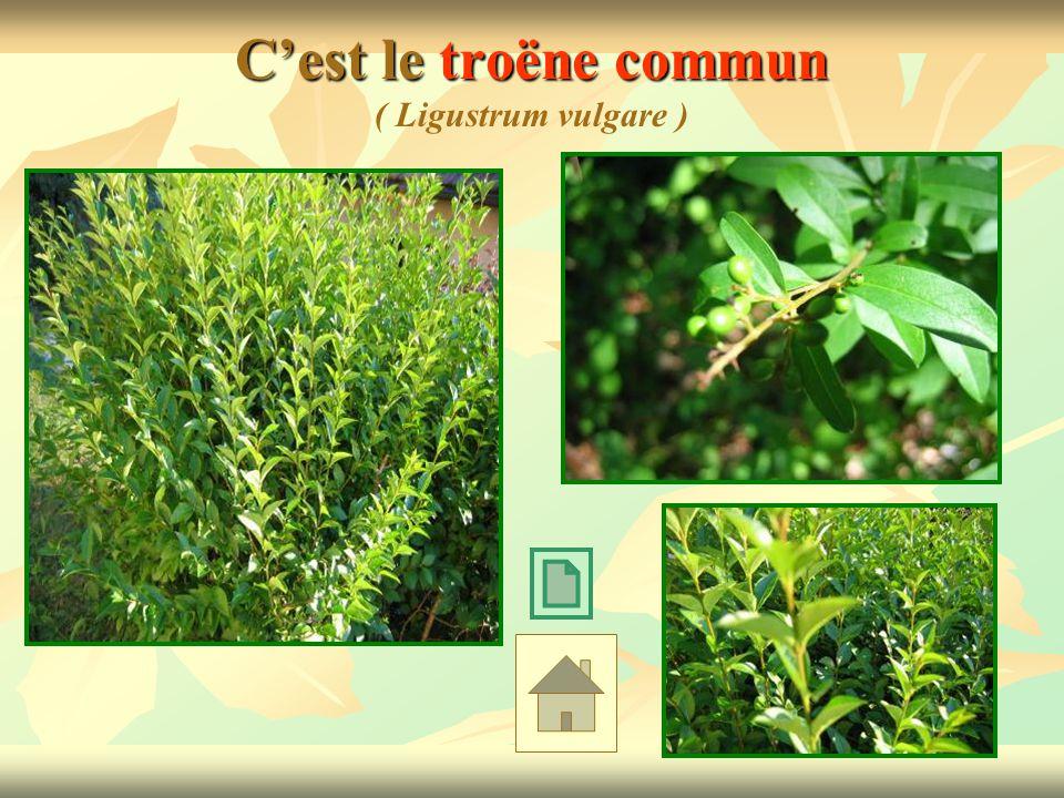 Cest le troëne commun Cest le troëne commun ( Ligustrum vulgare )