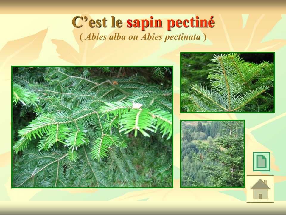 Info frêne Cest un arbre vigoureux de 30 à 40 mètres de hauteur.