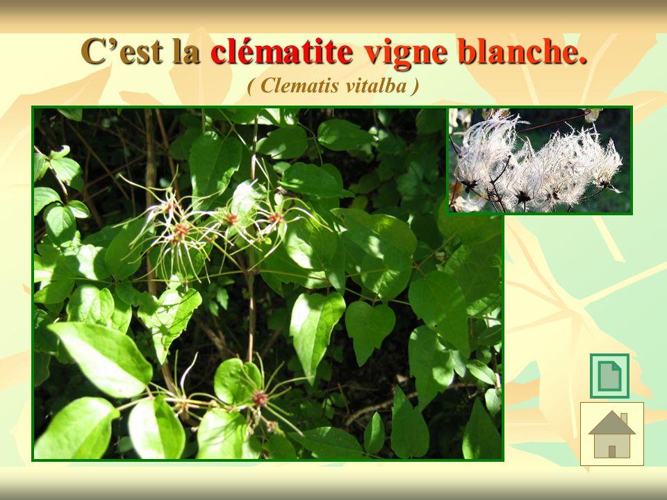 Cest la clématite vigne blanche. Cest la clématite vigne blanche. ( Clematis vitalba )