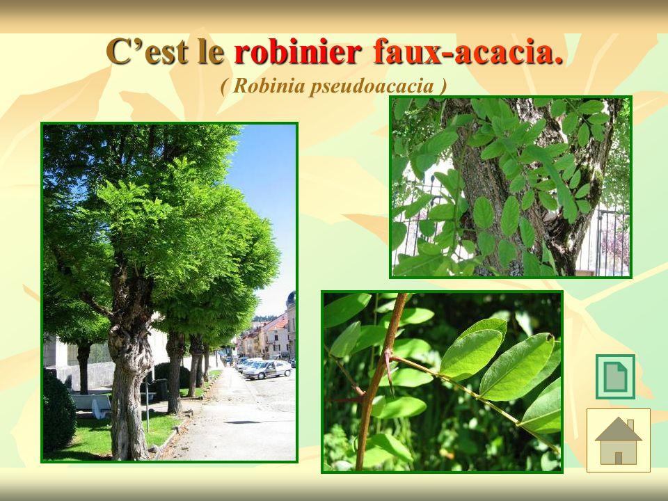 Cest le robinier faux-acacia. Cest le robinier faux-acacia. ( Robinia pseudoacacia )