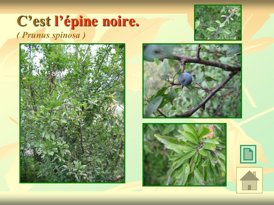 Cest lépine noire. Cest lépine noire. ( Prunus spinosa )