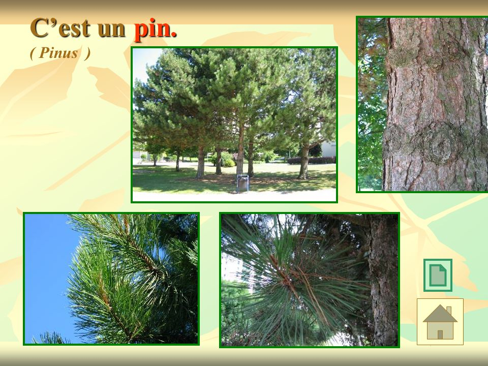 Cest un pin. Cest un pin. ( Pinus )