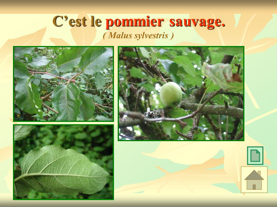 Cest le pommier sauvage. Cest le pommier sauvage. ( Malus sylvestris )