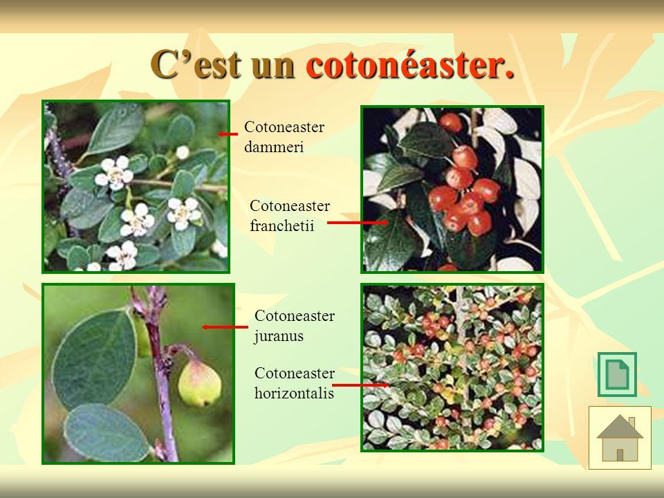 Cest un cotonéaster. Cotoneaster juranus Cotoneaster dammeri Cotoneaster franchetii Cotoneaster horizontalis