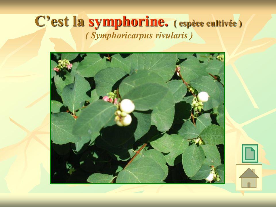 Cest la symphorine. ( espèce cultivée ) Cest la symphorine. ( espèce cultivée ) ( Symphoricarpus rivularis )