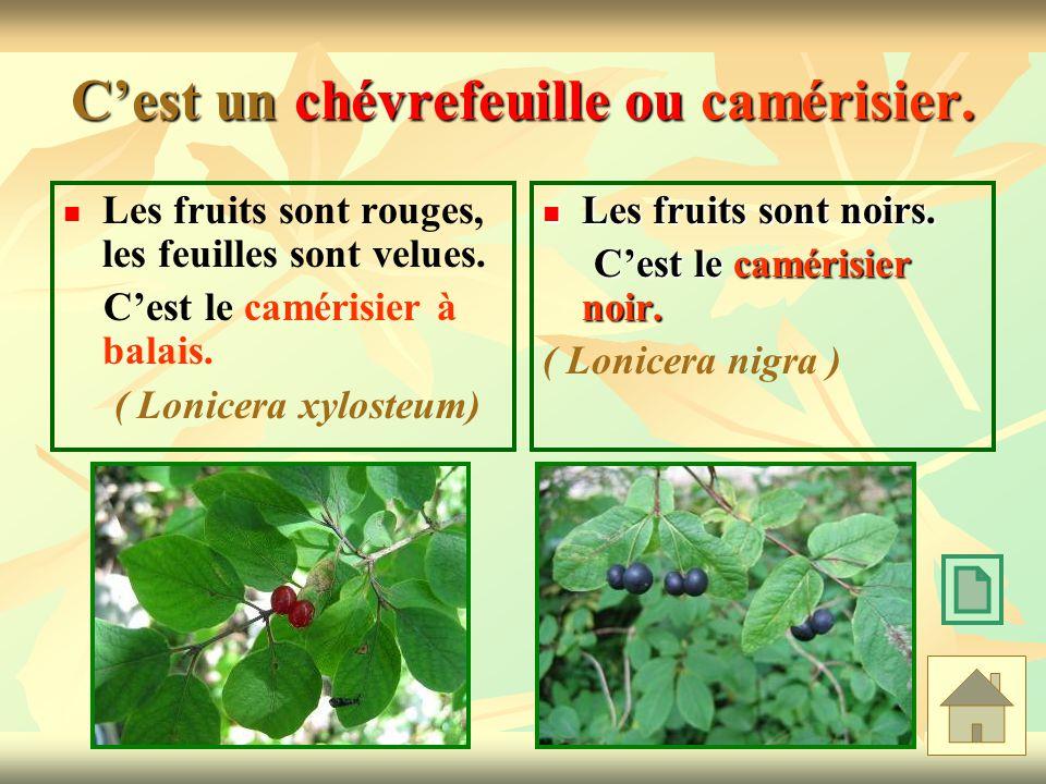 Cest un chévrefeuille ou camérisier. Les fruits sont rouges, les feuilles sont velues. Cest le camérisier à balais. ( Lonicera xylosteum) Les fruits s