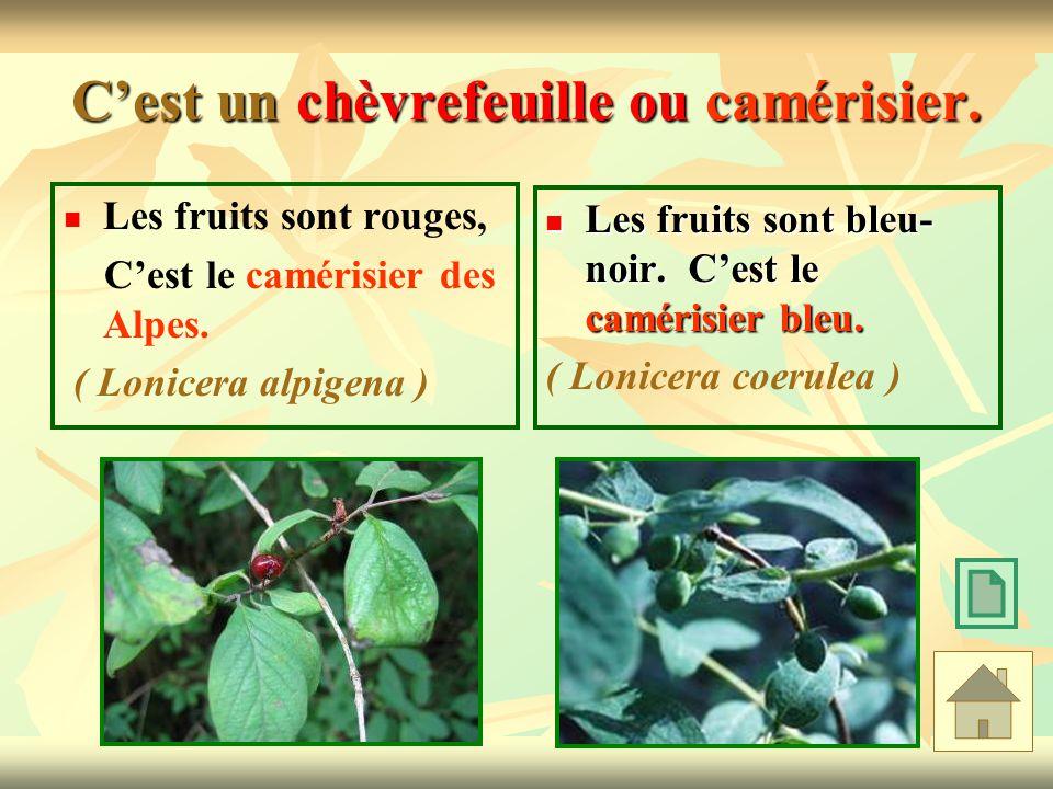 Cest un chèvrefeuille ou camérisier. Les fruits sont rouges, Cest le camérisier des Alpes. ( Lonicera alpigena ) Les fruits sont bleu- noir. Cest le c
