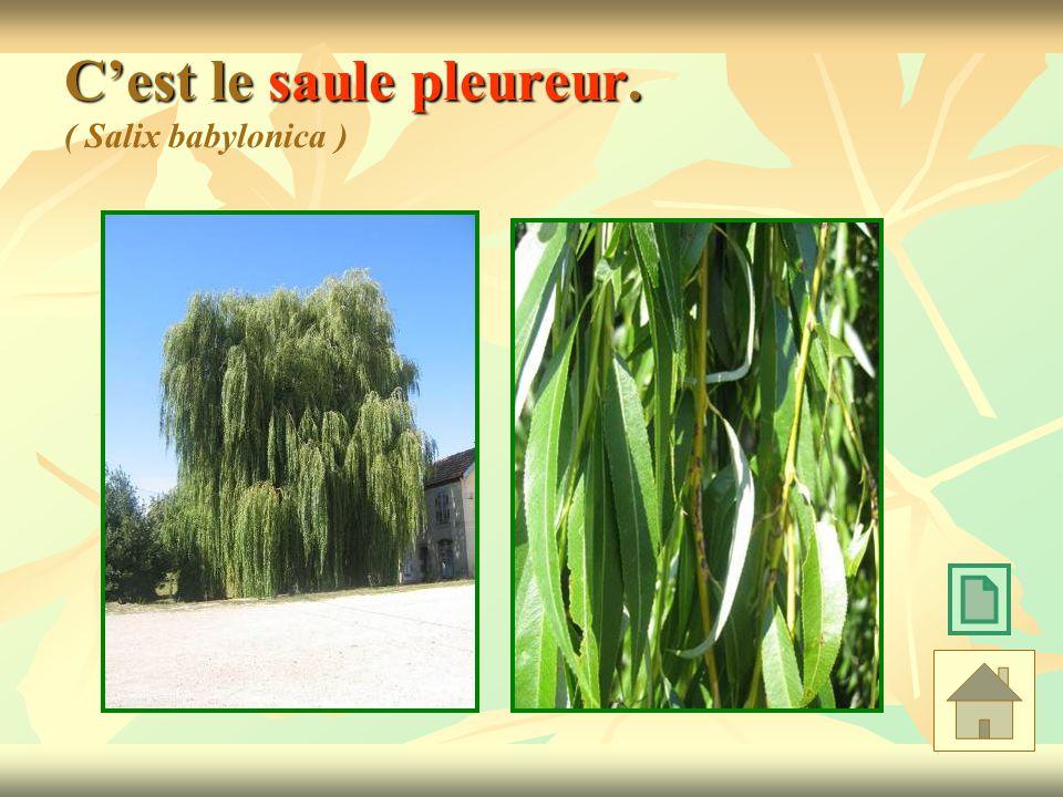 Cest le saule pleureur. Cest le saule pleureur. ( Salix babylonica )