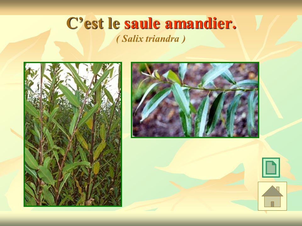 Cest le saule amandier. Cest le saule amandier. ( Salix triandra )