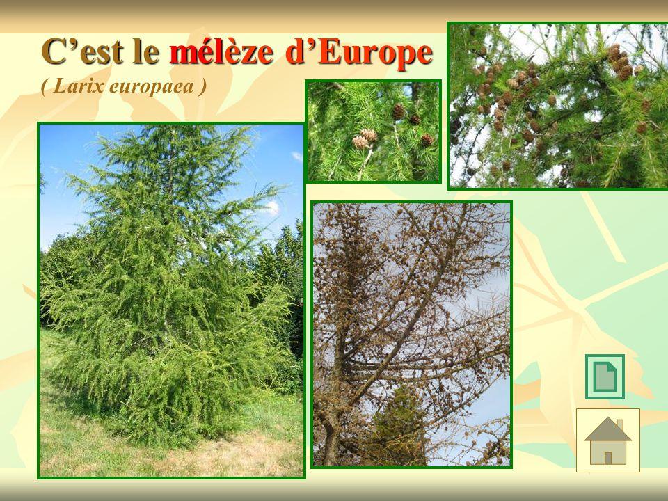 Cest le mélèze dEurope Cest le mélèze dEurope ( Larix europaea )